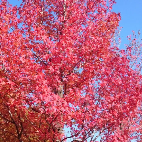 グリーンヒルズの紅葉