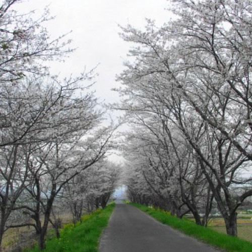久米川の桜並木